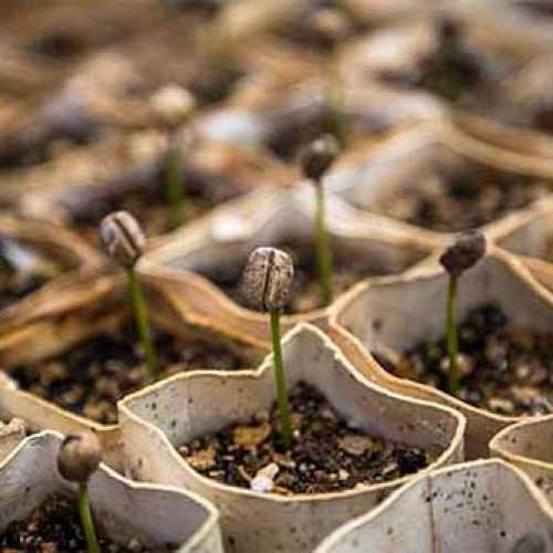 coffee seedlings growing, growing patterns bean merchant
